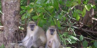 Barbados Green Monkeys