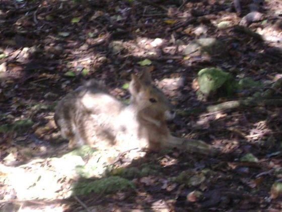 Barbados Wildlife Reserve, Rabbits