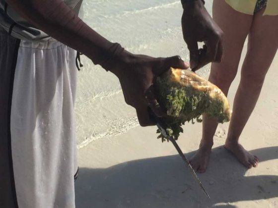 Caicos Tours Catching Conch