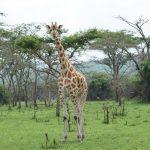 lake-mburo-safari-cultured-black-pearl-giraffe