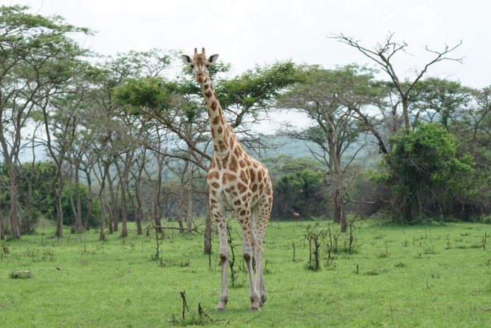 lake-mburo-safari-cultured-black-pearl-giraffe