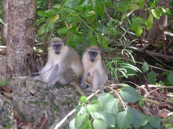 Barbados Green Monkeys