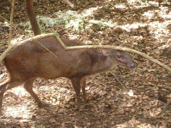 Barbados Wildlife Reserve Deer