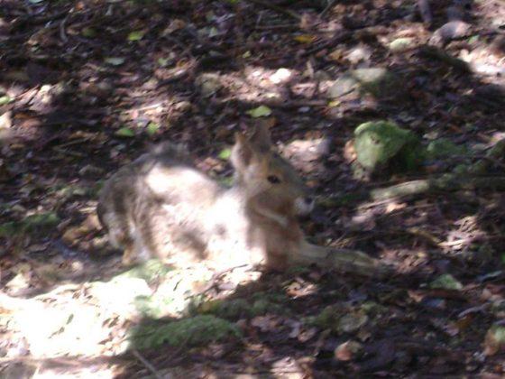 Barbados Wildlife Reserve, Rabbits